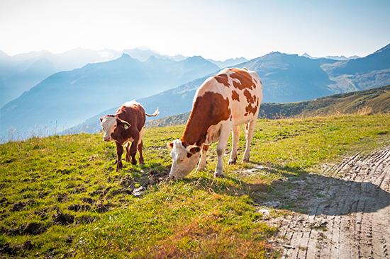 Vache Bleue_lait de montagne